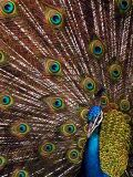 Click to see peacock2OPT.jpg